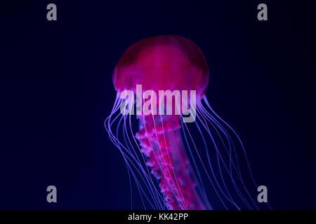 Dans l'aquarium de méduses méduses rose - Banque D'Images
