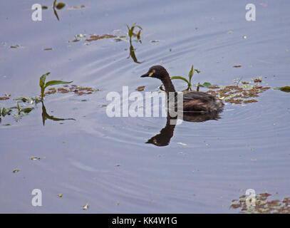 Australasian grebe natation sur le lac Victoria en Australie Banque D'Images