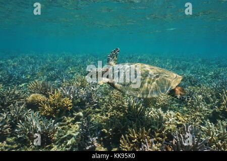 Une tortue imbriquée Eretmochelys imbricata tortue de mer sous l'eau peu profonde, sur un récif de corail, l'océan Banque D'Images