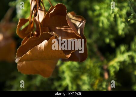 Feuille d'arbre mort sur fond de végétation verte. Banque D'Images