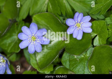 Gewöhnliches Leberblümchen, Leber-Blümchen, Hepatica nobilis, Liverleaf, foie-feuille