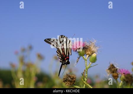 Un zèbre swallowtail butterfly de boire le nectar des fleurs de chardon, un plumeless banshee reeks nature preserve, Banque D'Images
