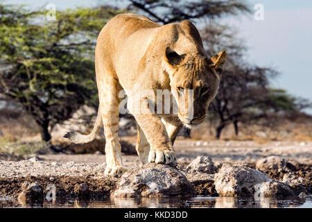 Lion (Panthera leo) - onkolo cacher, onguma game reserve, la Namibie, l'Afrique