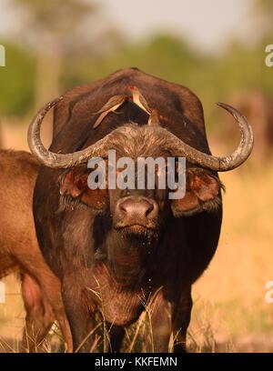 La faune sur la rivière Chobe, au Botswana Banque D'Images