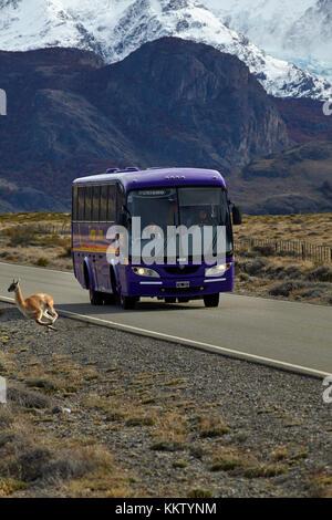 Guanaco en bus sur la route de El Chalten, Patagonie, Argentine, Amérique du Sud
