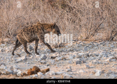 L'Hyène tachetée (Crocuta crocuta) Balade en paysage clairsemé d'Etosha, Namibie Banque D'Images