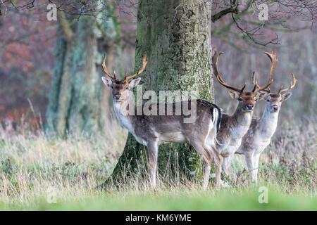 Daims parc Buck(Dama dama) à Holkham dans North Norfolk.