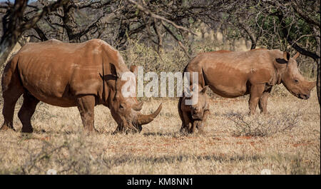 Un rhinocéros blanc du sud de la famille savane africaine Banque D'Images