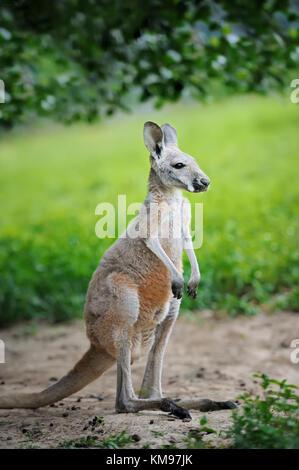 Bébé kangourou gris de l'ouest de l'Australie Banque D'Images