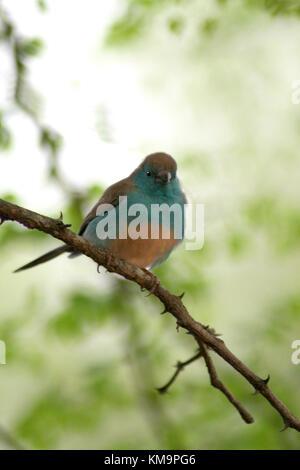 Le Parc National Kruger, Marloth Park, Blue waxbill assis sur une branche, Uraeginthus angolensis