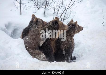 Une femelle et deux ans d'oursons de l'ours brun (ursus arctos arctos) quitter den dans la neige au début du printemps Banque D'Images