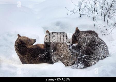 Ours brun femelle allaitant deux 1 ans d'oursons (Ursus arctos arctos) dans la neige en hiver Banque D'Images