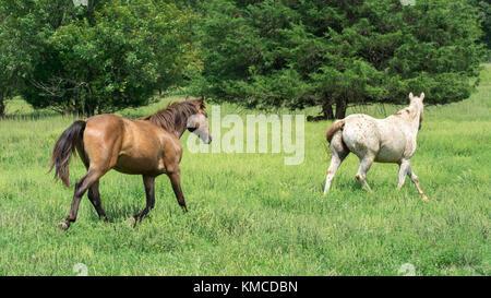 Deux chevaux qui courent dans un pré vert