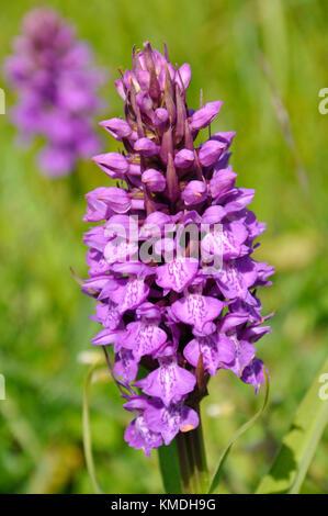"""Marais du sud """"actylorbiza praetermissa orchid',fleurs,juin des dunes de sable et des prairies humides,chabeuil, Somerset, uk"""