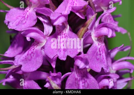 """Marais du Sud """"actylorbiza praetermissa Orchid',close up,juin,fleurs des dunes de sable et des prairies humides,Catcott, Somerset, UK"""