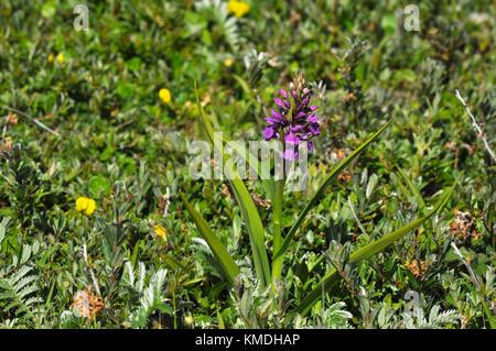 """Marais du sud """"actylorbiza praetermissa orchid',fleurs,juin des dunes de sable et des prairies humides,braunton Burrows, Devon, Royaume-Uni"""