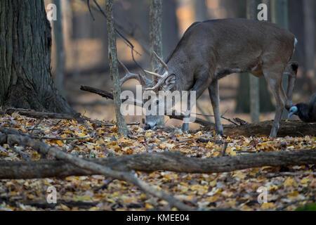 Un cerf de Virginie mûr se nourrissant dans la forêt. Banque D'Images