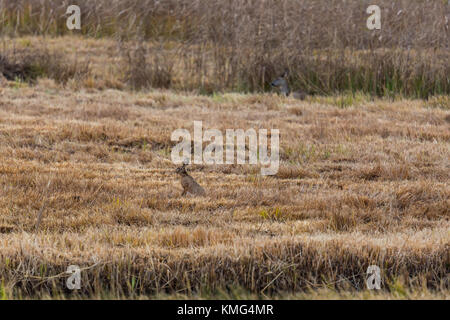 Naturel européen brown hare lièvre (Lepus europaeus) et le cerf à reed