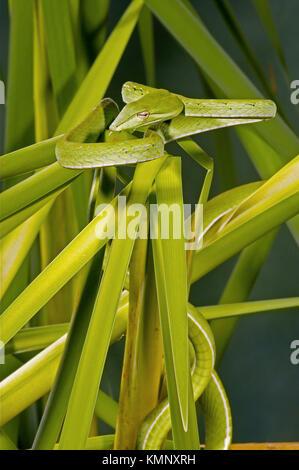 Arbre généalogique bec long serpent (Ahaetulla prasinus)