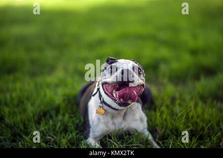 Smiling Bouledogue Français Lying on Grass Playing Fetch dans une ville avec un parc pour chiens d'arrière-plan Banque D'Images