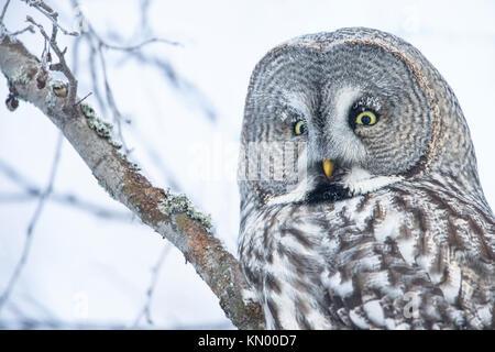 Close-up of a great Grey Owl perching en Finlande, l'hiver Banque D'Images