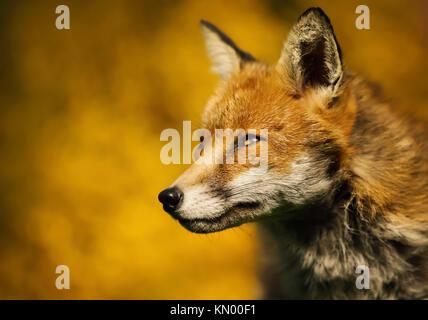 Close up of isolés un adulte red fox portrait contre l'arrière-plan coloré, UK Banque D'Images