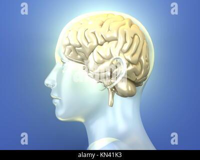Le cerveau humain. Rendu 3D illustration anatomique. Banque D'Images