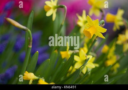 Narcissus 'tete a tete' fleurs jaune au jardin Banque D'Images