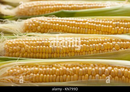 Matières premières fraîches des épis de maïs jaune. Banque D'Images