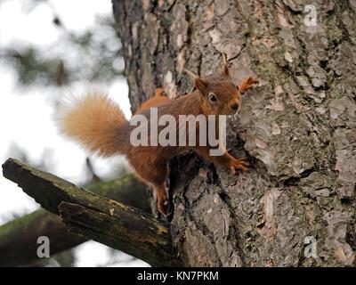 Eurasienne alerte l'écureuil roux (Sciurus vulgaris) et des mains avec des griffes sur l'écorce du tronc du pin sylvestre (Pinus sylvestris) dans la région de Cumbria, Angleterre, Royaume-Uni