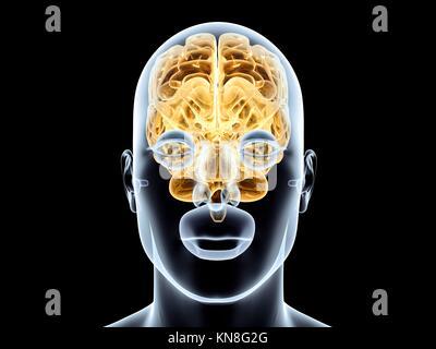 Le cerveau humain. Rendu 3D illustration. Isolé sur le noir. Banque D'Images
