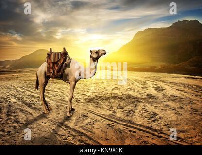Camel en désert de sable près de la montagne au coucher du soleil. Banque D'Images