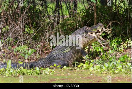 Alligator à Brazos Bend State Park manger un remins du fauve Banque D'Images