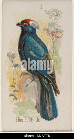 Bouvreuil bleu, du chant des oiseaux de la série mondiale (N23) pour Allen & Ginter Cigarettes atteint 409658 DP835264 Banque D'Images