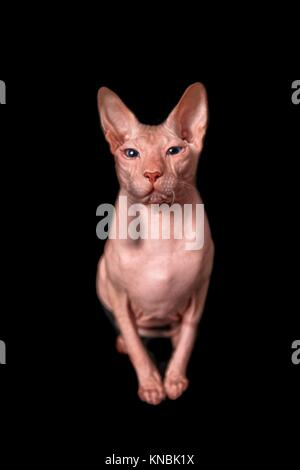 Don Sphinx Cat regarder la caméra isolated on black Banque D'Images