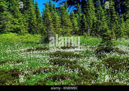 Avalanche blanc Lis, Erythronium montanum, fleurs sauvages. Le mont Rainier National Park, Paradise, nord-ouest Banque D'Images