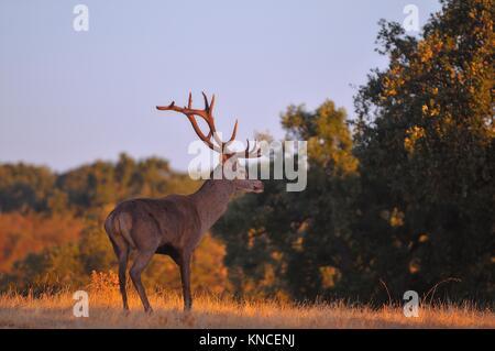 Portrait des adultes puissants majestueux red deer stag en automne pré. Banque D'Images