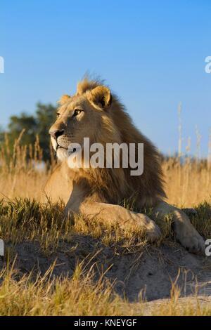 L'African lion (Panthera leo). Delta de l'Okavango, au Botswana, l'Afrique. Banque D'Images