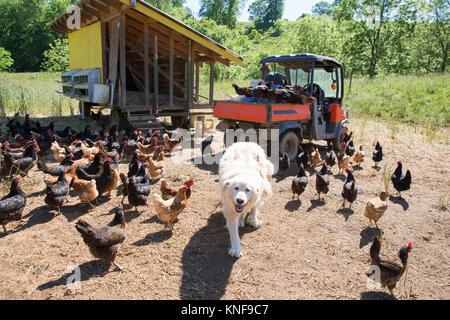 Portrait de chien de Montagne des pyrénées et golden comet et black star poules sur ferme bio Banque D'Images