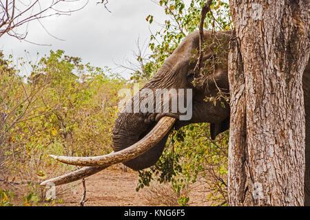 L'éléphant africain (Loxodonta africana) dans le Parc National de Kruger. Afrique du Sud 8