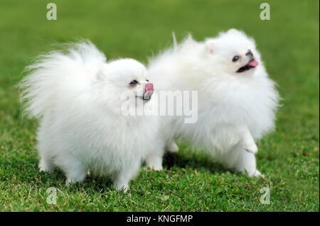 Fermer white chien pomeranian en vert de l'herbe d'été Banque D'Images