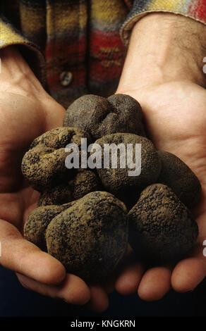 La truffe noire du Tricastin dans la Drôme, France.