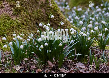 Printemps (Leucojum vernum) Flocons de fleurir dans la forêt de feuillus humide sur humide et riche en éléments nutritifs, modérément acide et les sols argileux et limoneux -