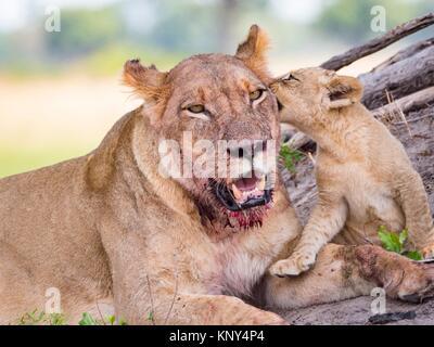 Le Botswana. Lionne et bébé. Banque D'Images