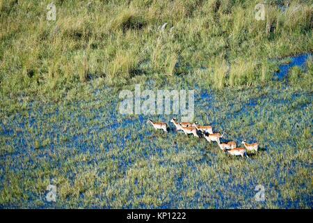 Vue aérienne de Cobes Lechwes (Kobus leche) traverser les zones humides, Okavango Delta, Botswana, l'Afrique. Banque D'Images