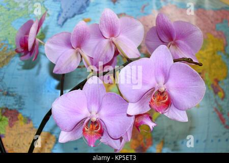 Orchidée rose en fleurs près du monde&#39 s la carte Banque D'Images
