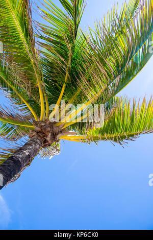 Vue rapprochée de sous un palmier, sur la plage de Fort Lauderdale en Floride, USA, sur un beau ciel bleu et ensoleillé. Banque D'Images
