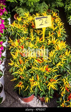 Piments rouges et jaunes ornementales qu'une usine à vendre pour 2 euros, à un marché grec à Athènes. Banque D'Images