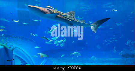 Requin-baleine dans l'aquarium Banque D'Images