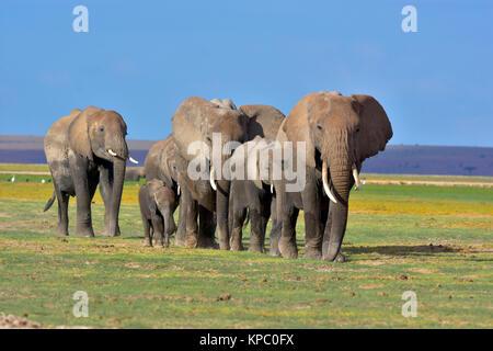 Les éléphants dans le parc national Amboseli près de Kilimandjaro au Kenya. Banque D'Images